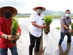Gubernur Olly tanam padi dan panen rica di Minahasa